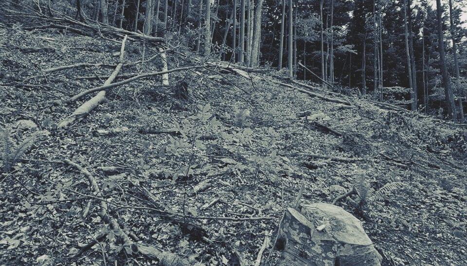 Tăieri ilegale de arbori, acoperite de Ocolul Silvic Rusca Montană